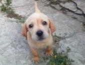Labrador retriever - golden ❗❗ՇՏԱՊ❗❗