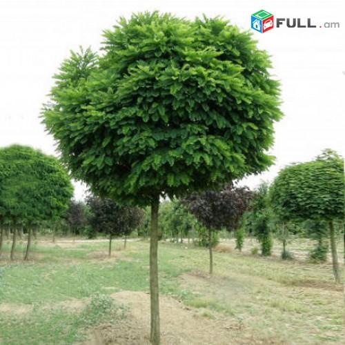 Akacia, gndadzev akacia Անվճար առաքումով Ակացիա Գնդաձև, ձևավորված, փշոտ, տարբեր
