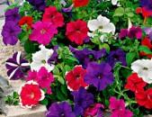 Ակցիա Ծաղիկների մեծ տեսականի ` pitunya, shnik, pipert, geran