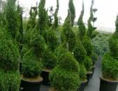 Մատչելի գներով վաճառում եմ գեղեցիկ Tua tuya Spiral buys, tua / Վաճառում եմ Սպիրալ բույս, tua