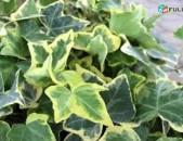 Մագլցող, ամառ ձմեռ կանաչ plyush, maglcox buys mshtadalar ` voskeguyn, kanachՄագլցող Բույսեր` Վարդեր, Պլուշ ` ոսկեգույն. Առաքումը և տեղադրումը անվճար