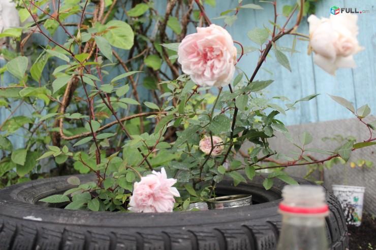 Վարդեր ` հոլանդական, կառլիկվի և այլ տեսակի բույսեր ջերմոցից մատչելի