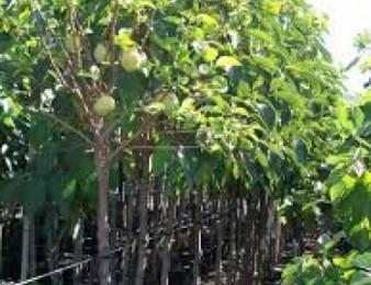 tnki ptxatu tnkiner Վաճառում եմ tnkiner պտղատու ծառեր` տնկիներ ` բալենի, ծիրանենի, խնձորենի, գիլաս
