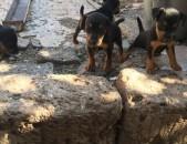 Ягдтерьер ցեղատեսակի շուն