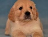 Ретривер dog собака շուն