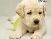 Лабрадор շուն собака