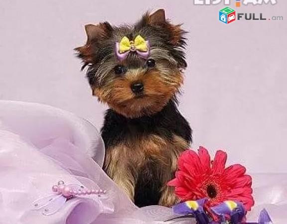 Йоркширский терьер յորշիական տերիեռ ցեղատեսակի շուն Yorkshire Terrier dog