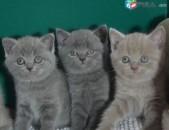 Բրիտանականա կատվի ձագուկներ