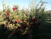 Վաճառվում է խնձոր