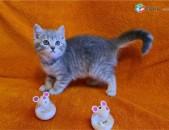 BKH kittens պատրաստ են նոր տների