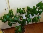 Չինական վարդ chinakan vard