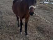 Ձի, 4 տարեկան, dzi