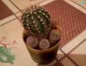Kaktusner tarber tesaki