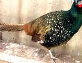 Ֆազան фазан fazan руминакан