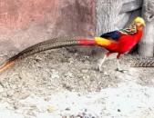 Կրասնի ֆազան фазан красный fazan krasni