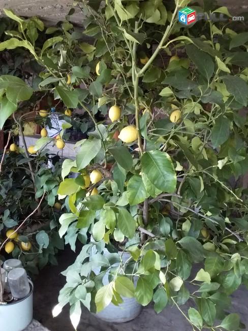 Լիմոնի ծառ