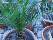 Palma, պալմա, пальма