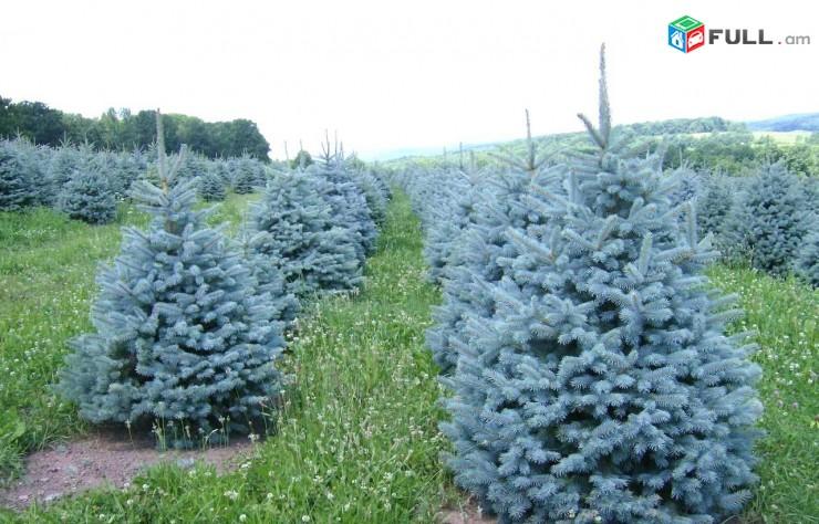 Yolka, exevni. gihi, серебристый елка, Можжевельник, gihi ` prvox, super blue