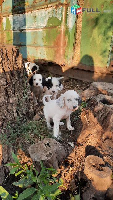 Շուն որսորդական, сеттер, собака, собака охоты