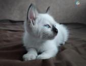 Սիամական կատուներ