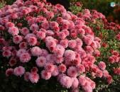 Xrizantema tsaxikneri buyseri mets tesakani