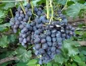 Zabava Xaxoxi vazer vinogradnaya loza Виноград tsaxikneri buyseri mets tesakani