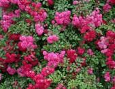Drsi varder վարդեր Розы супер Дороти