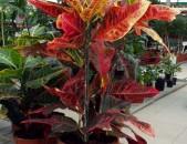 ԾԱՂԻԿ KROTON Цветок кротон (кодиеум)
