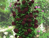 Drsi varder վարդեր Розы Плетистые чёрная королева