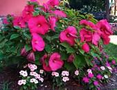 Hibiskus trawyanisti Midnight marvel ծաղիկների մեծ տեսականի. Մոտ 800 տեսակ