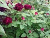 Drsi varder վարդեր Розы сувенир дю доктор жеман