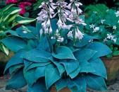Xosta хостанер тесакнер ծաղիկների մեծ տեսականի