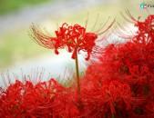 Likorisner ликорис ծաղիկների մեծ տեսականի