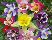 Akvilegiya аквилегия ծաղիկների մեծ տեսականի