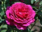 Drsi varder վարդեր Розы розберри