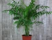 .Palma chamaedorea xomedoreya  palma
