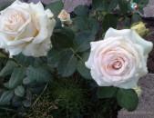 Drsi varder վարդեր Розы ла белль