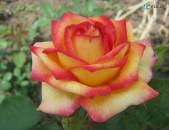 Drsi varder վարդեր Розы Чай гибр