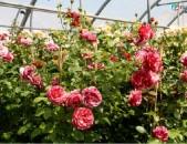 Drsi varder վարդեր Розы брауни