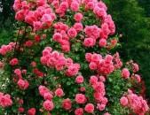 Maglcox varder  rozarium yuterzen роза розариум ютерзен ծաղիկների մեծ տեսականի