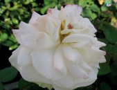 Maglcox varder grus end hayd Розы Грусс ан Хайд ծաղիկների մեծ տեսականի. Մոտ 800 տեսակ